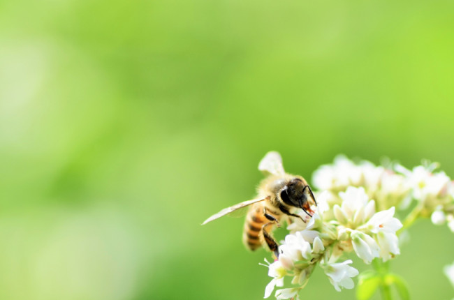 花にとまるミツバチ